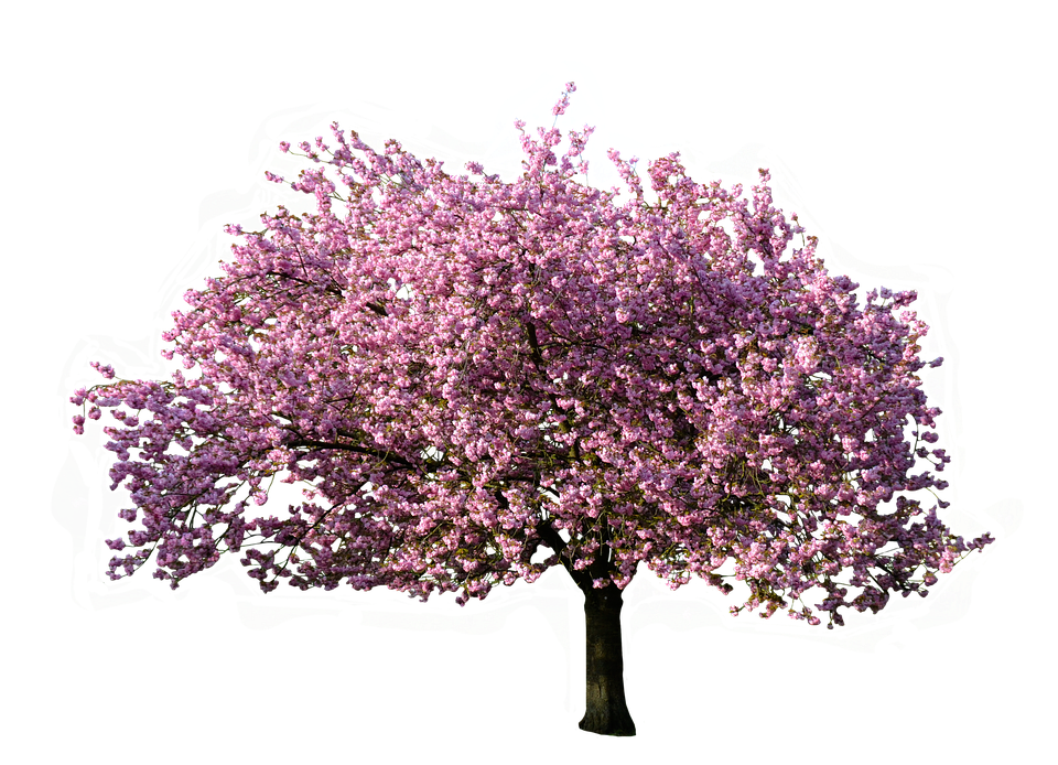 Pink trees png. Spring tree transparent images