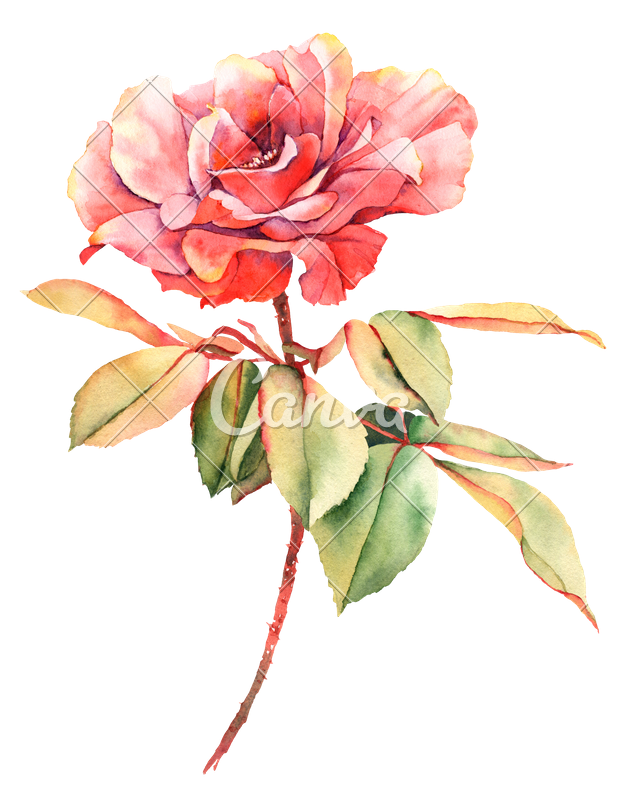 Pink watercolor flower png. Rose painting photography transprent