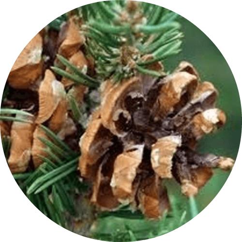 Pinon pine png. Cone essential oil living