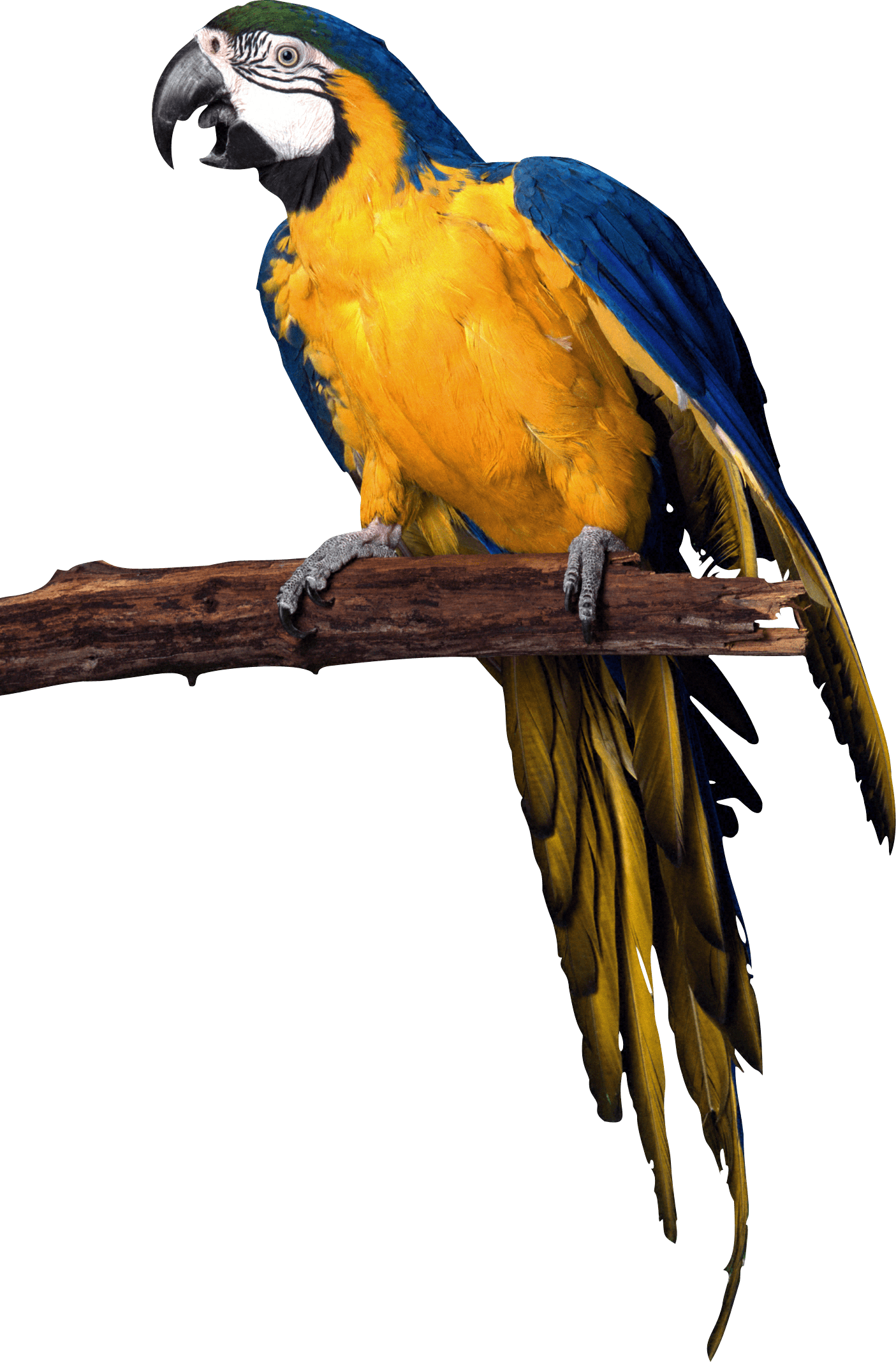 Pirate parrot png. Yellow blue image purepng