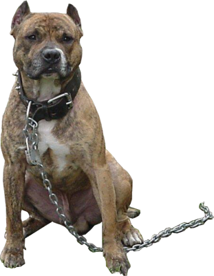 Pit bull png. Pitbull transparent images pluspng