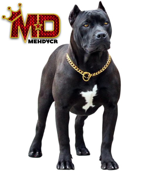 Pitbull png image. Dog with gold chain