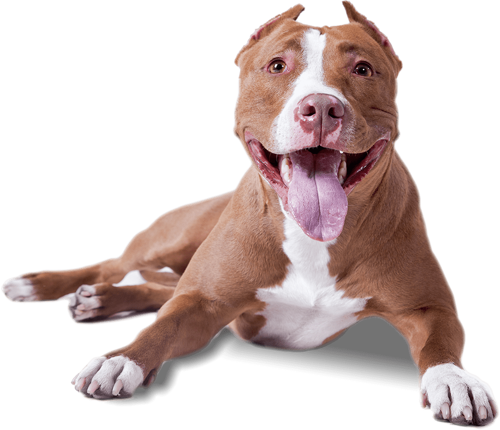 Pitbull png image. Lying down transparent stickpng