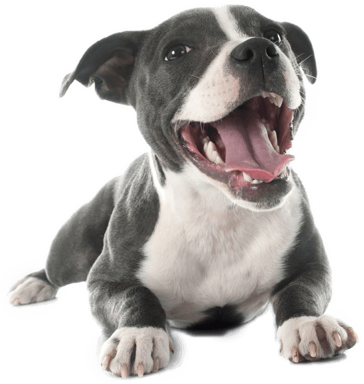 Pit bull terrier png. Best dog food for