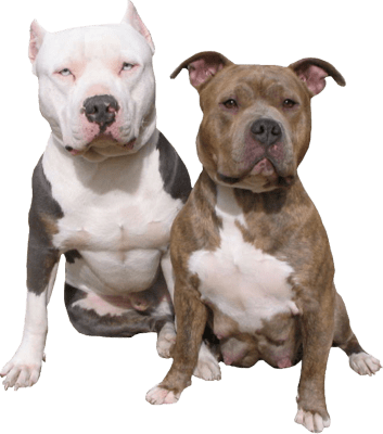 Pitbull png image. Duo transparent stickpng download