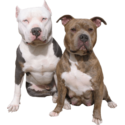 Pit bull terrier png. Dogs transparent images page