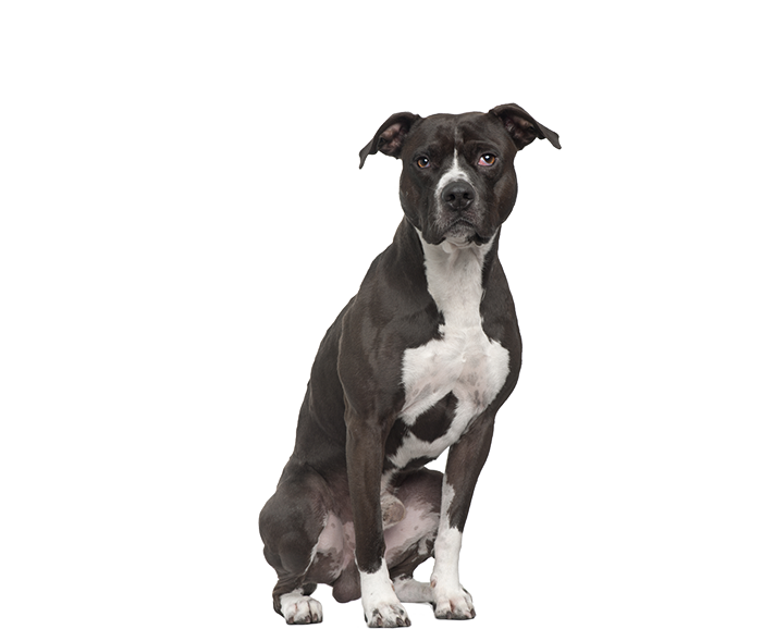 Pit bull terrier png. Large dog house bow