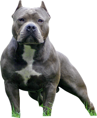 Pit bull terrier png. Vs staffordshire american bully