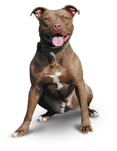 Pitbull singer png. Transparent images pluspng the