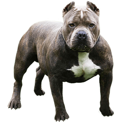 Pitbull clipart png. Looking at you transparent
