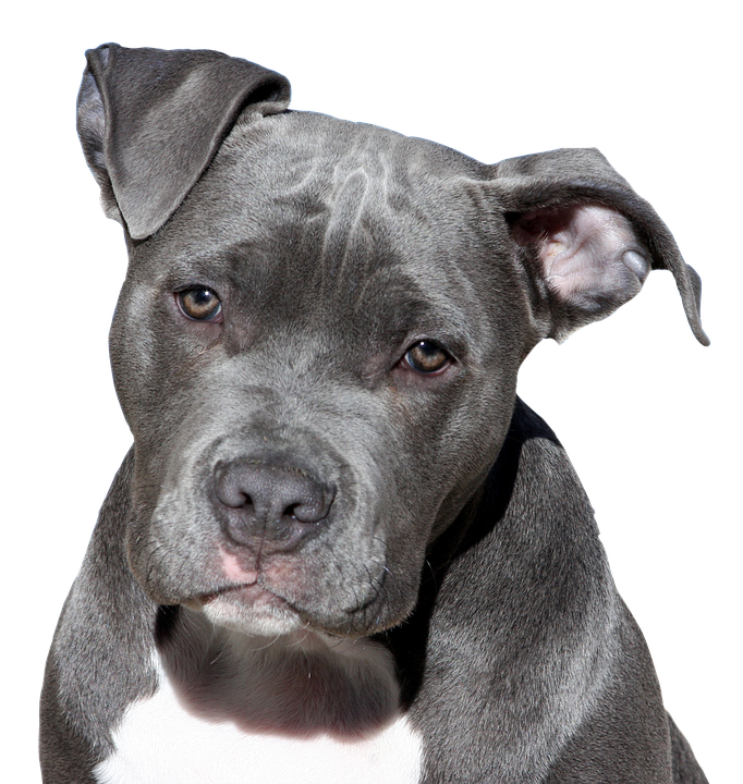 Pitbull dog head png. Transparent images pluspng terrier