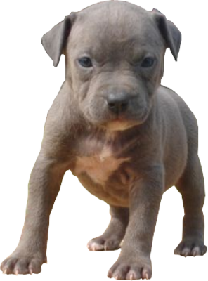 Puppy. Pitbull png image banner stock