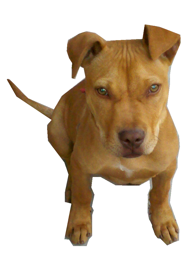 Pitbull png image. Transparent images pluspng perro