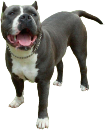 Pitbull png image. Download blue nose puppies