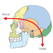 Planar drawing skull. Anatomical terms of location