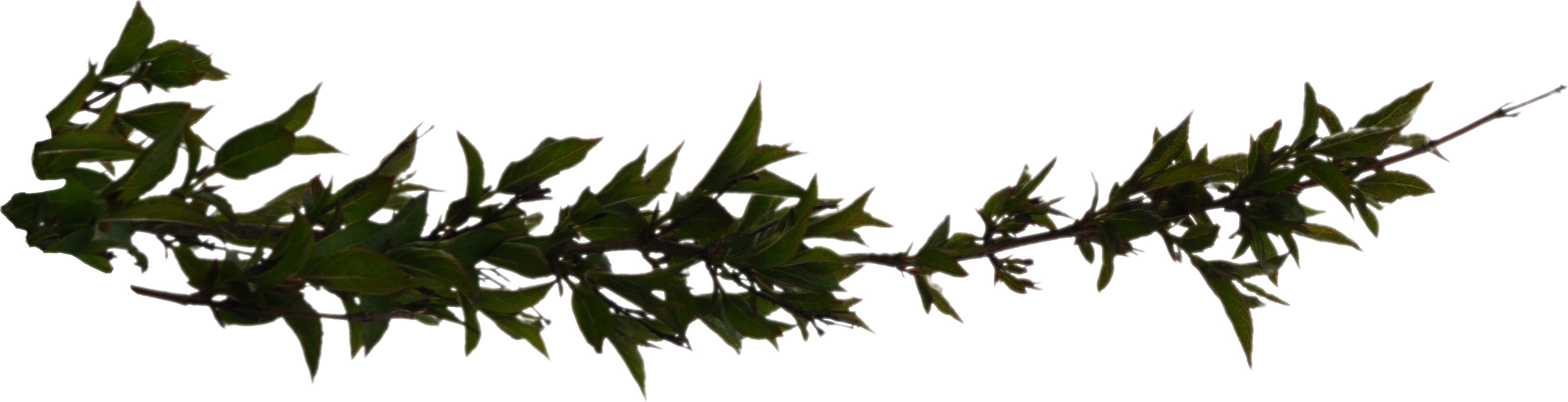 Plant branch png. Leafy tree branchleaves liberated