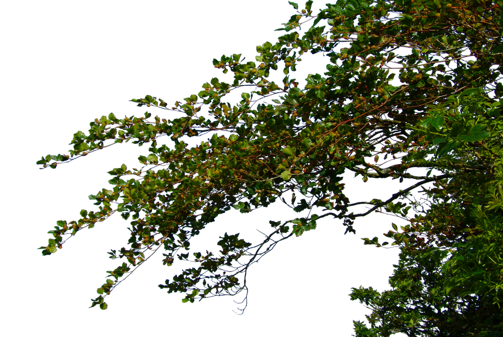 Plant branch png. Hanging leafy branches by