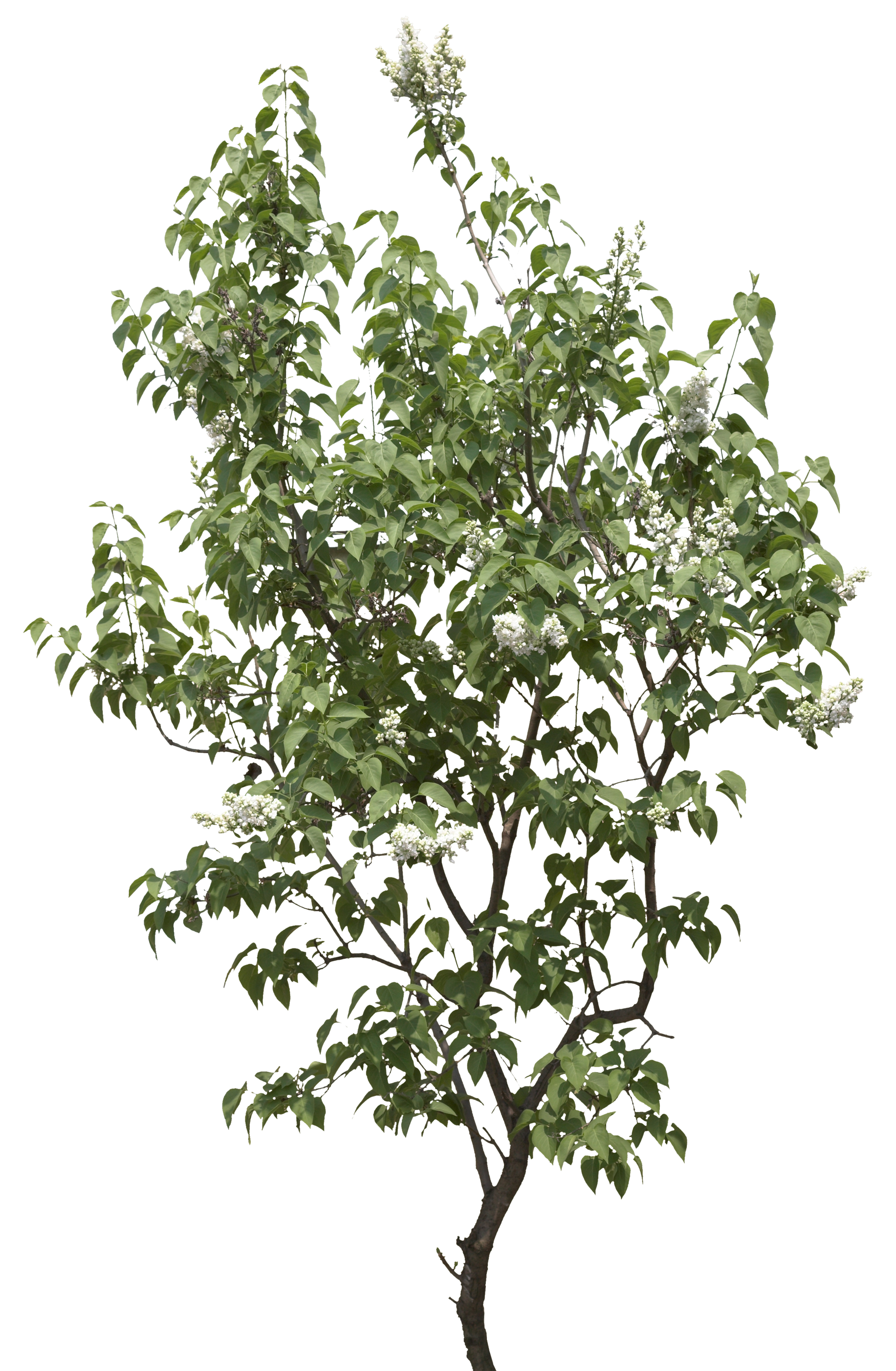 White trees png