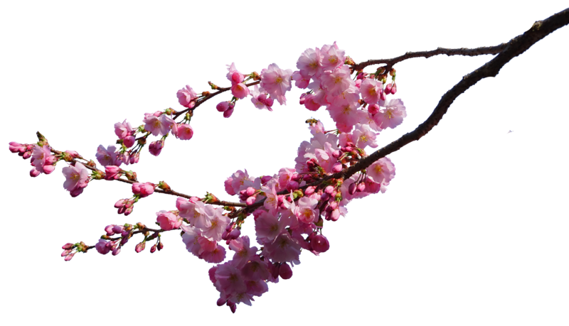 Plant branch png. Cherry blossom branches stock