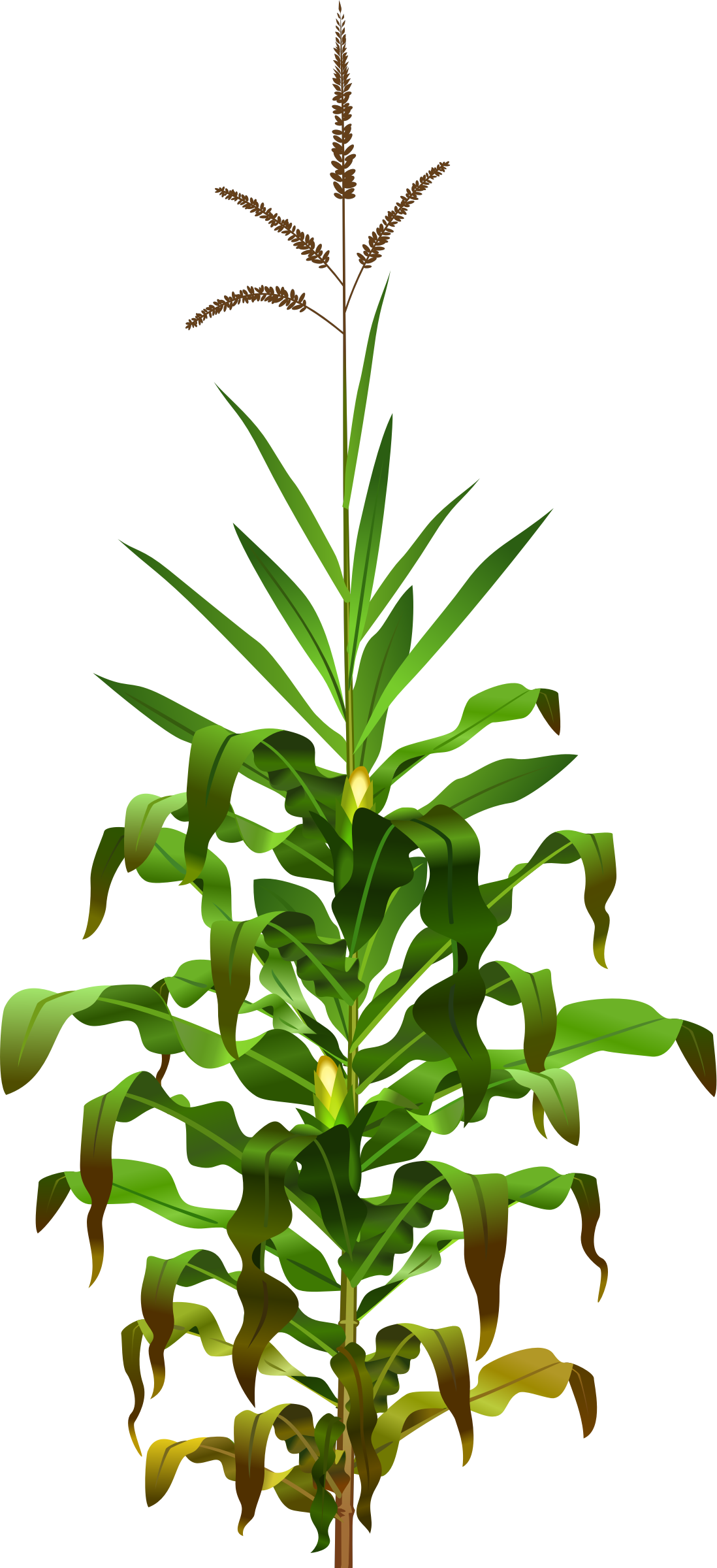 plants clipart palay