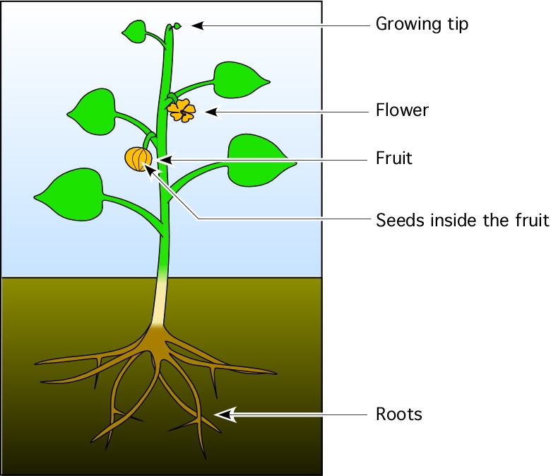 Plant clipart fruit plant. Roots tip flower seeds