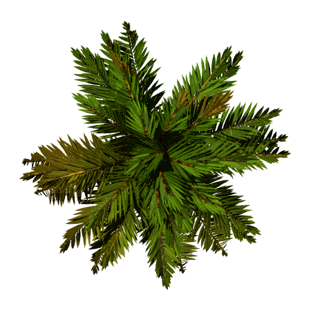 Top of pine png. Tree google search stock