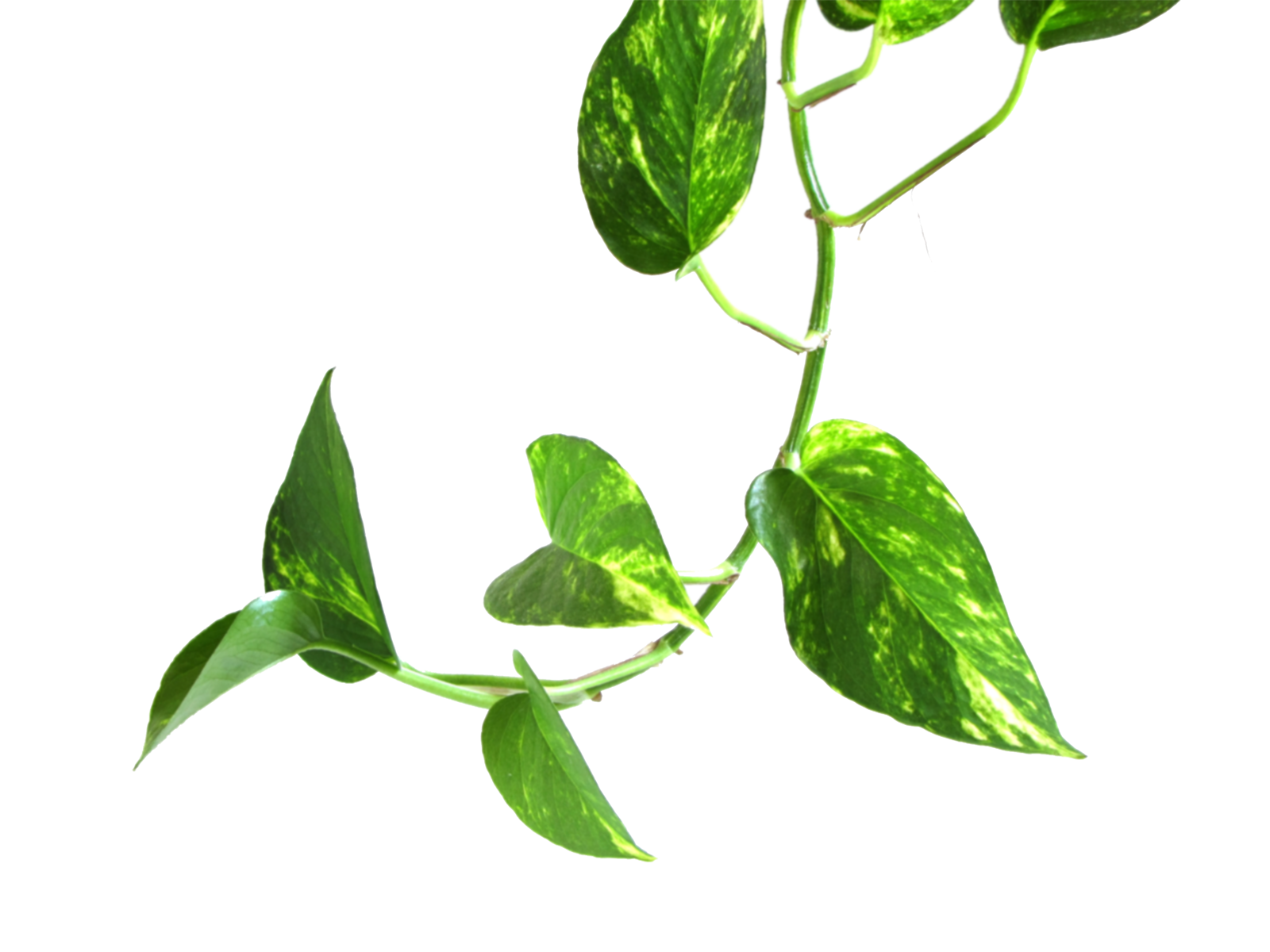 Plant leaves png. Vines images free
