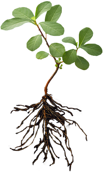 Plant with roots png. Image