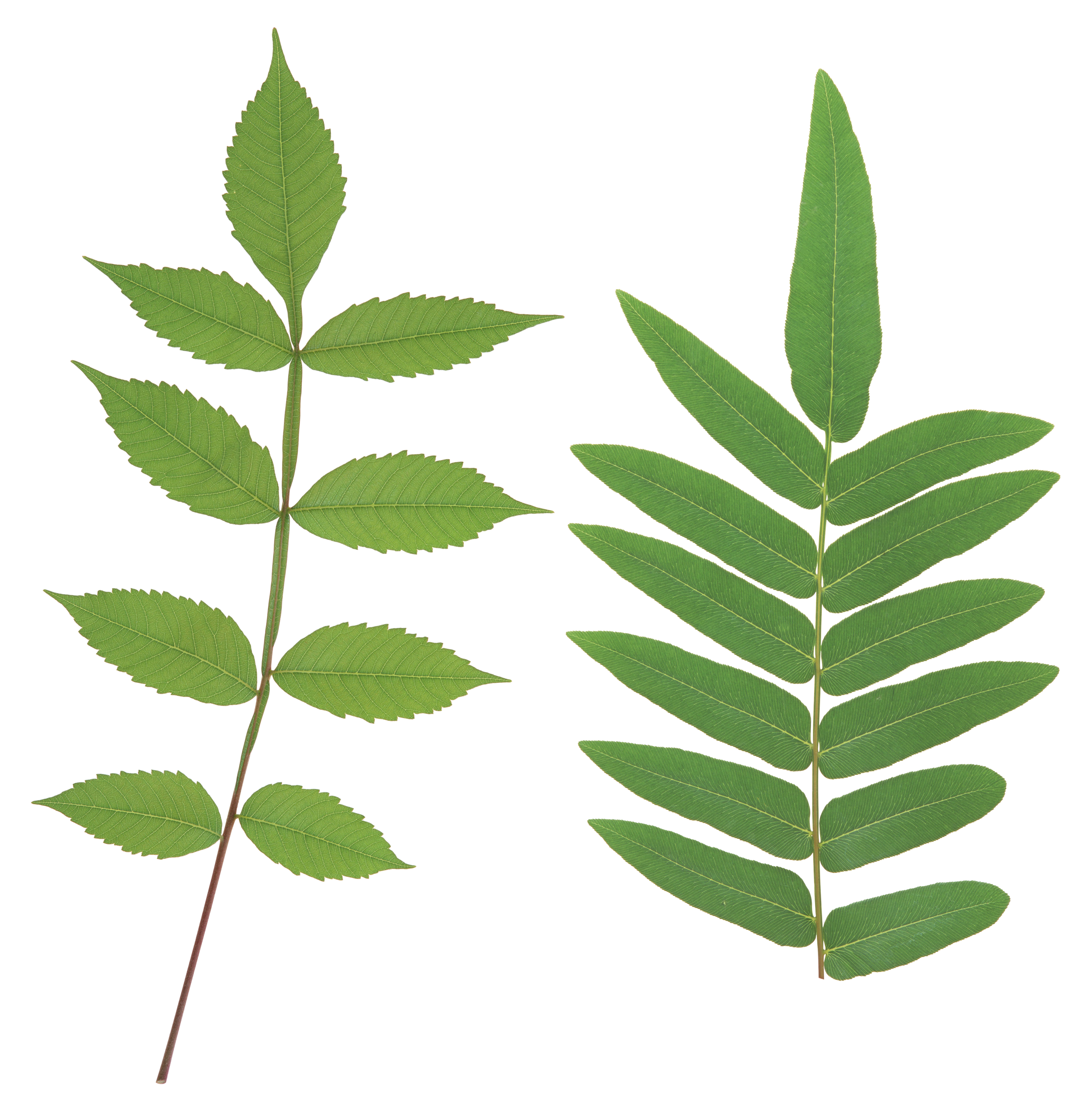 Plant stem png. Green leaves images free
