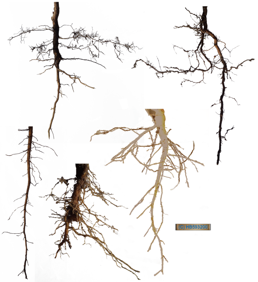 Plant with roots png. Root stock pack by