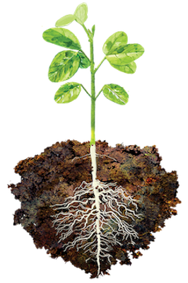 Plant with roots png. What is toggle acadian