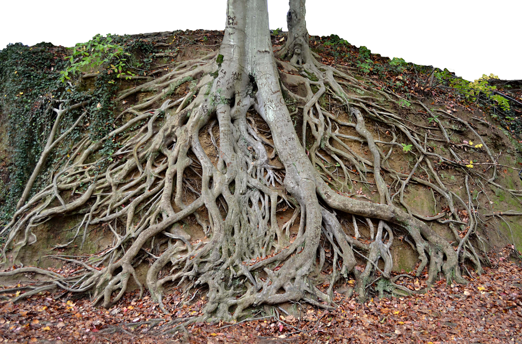 Plant with roots png. Giant tree trunk stock