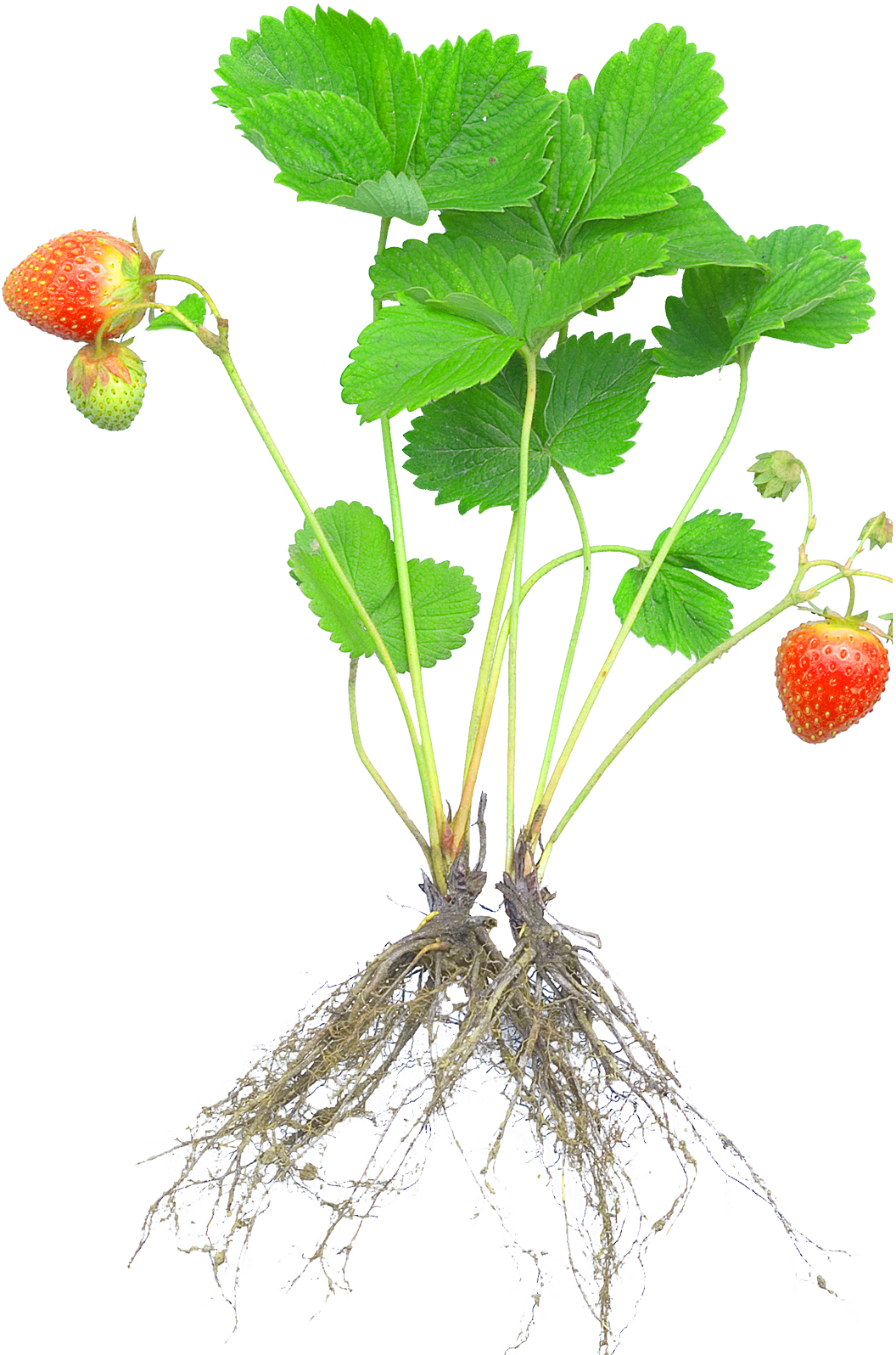 Plant with roots png. Strawberry rosaceae fruit cultivar