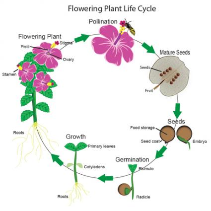 Plants clipart flower plant. Flowering life cycle lovetoknow
