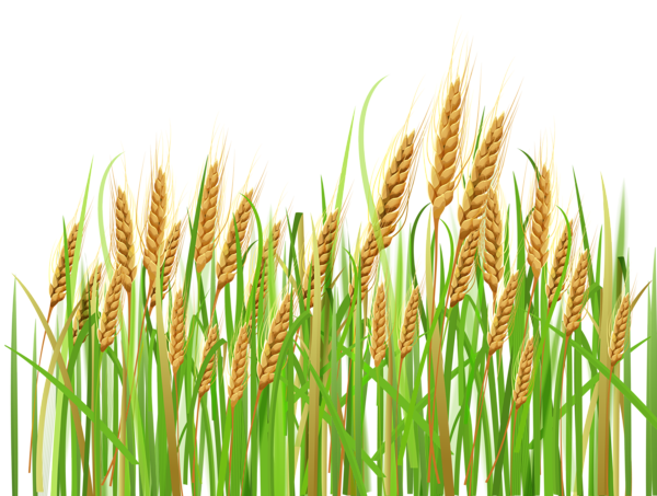 Plants clipart palay. Grains ear wheat pencil