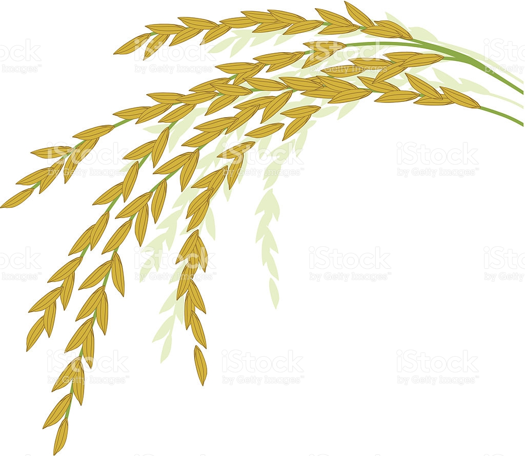 Plants clipart palay. Rice border free creative