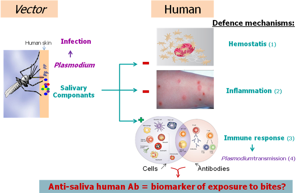 Vector mosquitoes malaria. New salivary biomarkers of