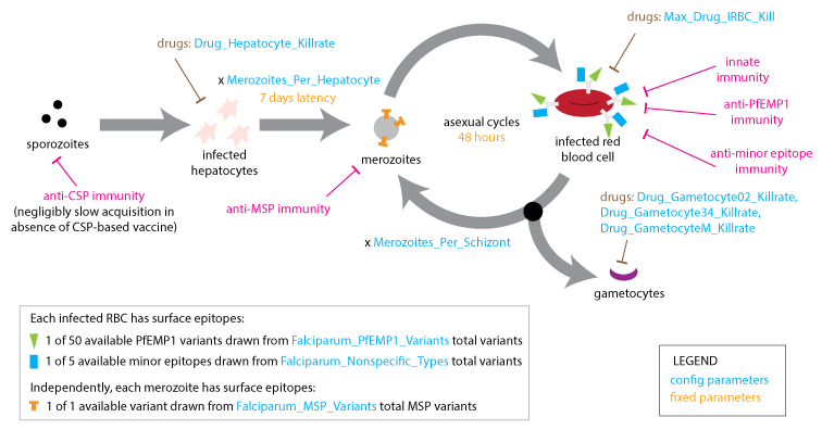 Plasmodium vector. Malaria infection and immune