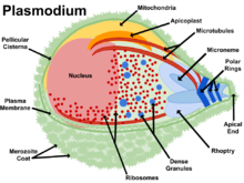 Plasmodium vector. Wikipedia is a eukaryote