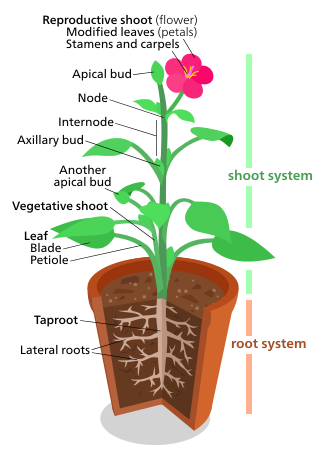 Studying drawing flower. Plant morphology wikipedia a