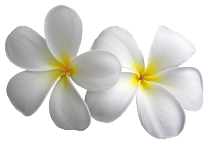 Plumeria . Transparent flowers png transparent stock