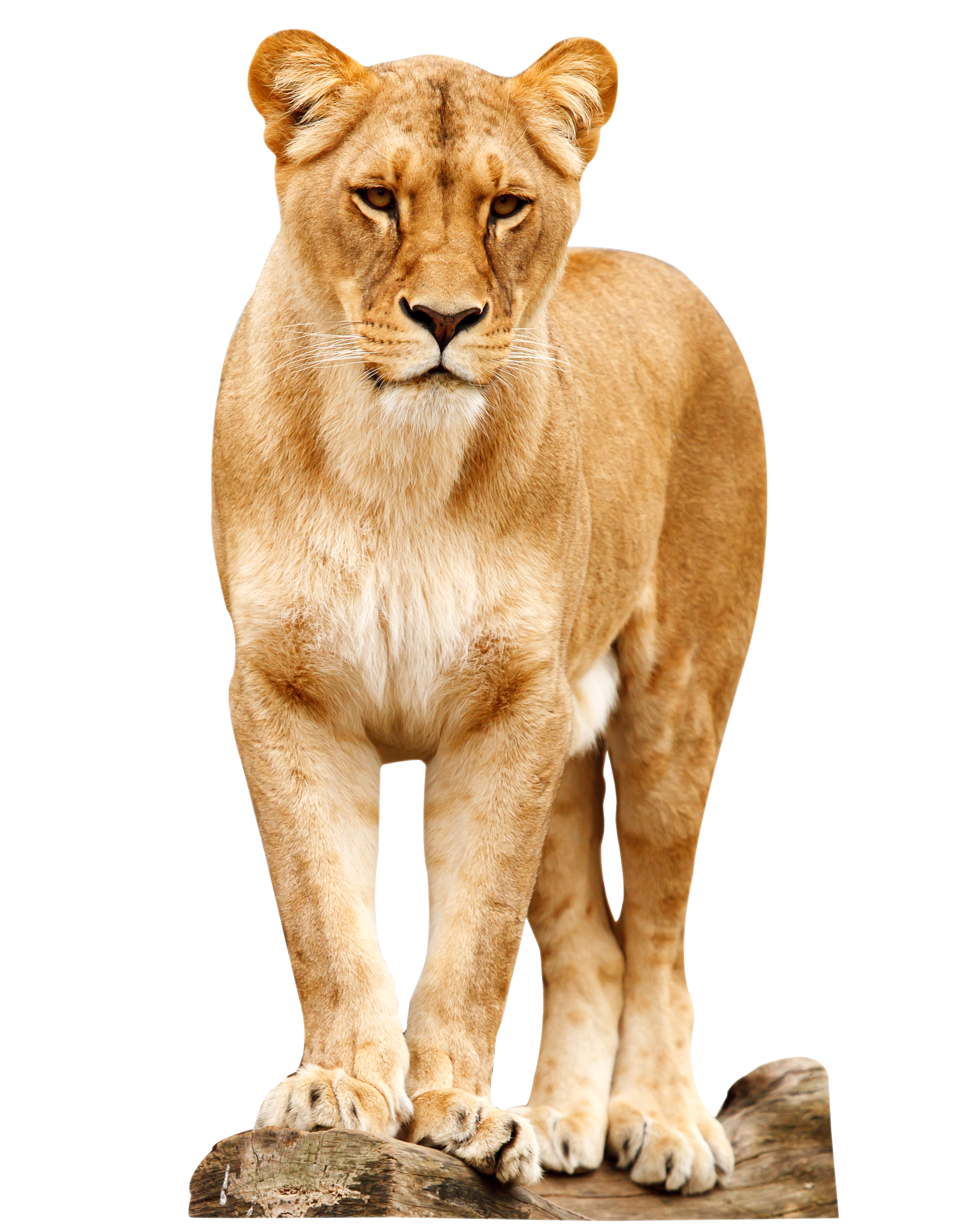Png animals hd. Lion images free download