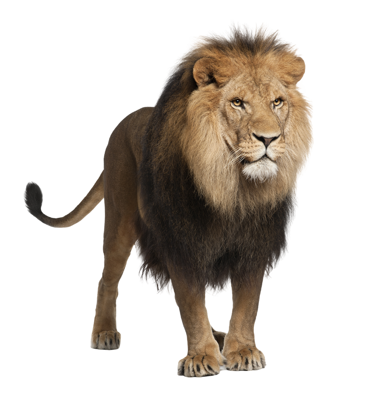 Png animals hd. Lion images and clipart