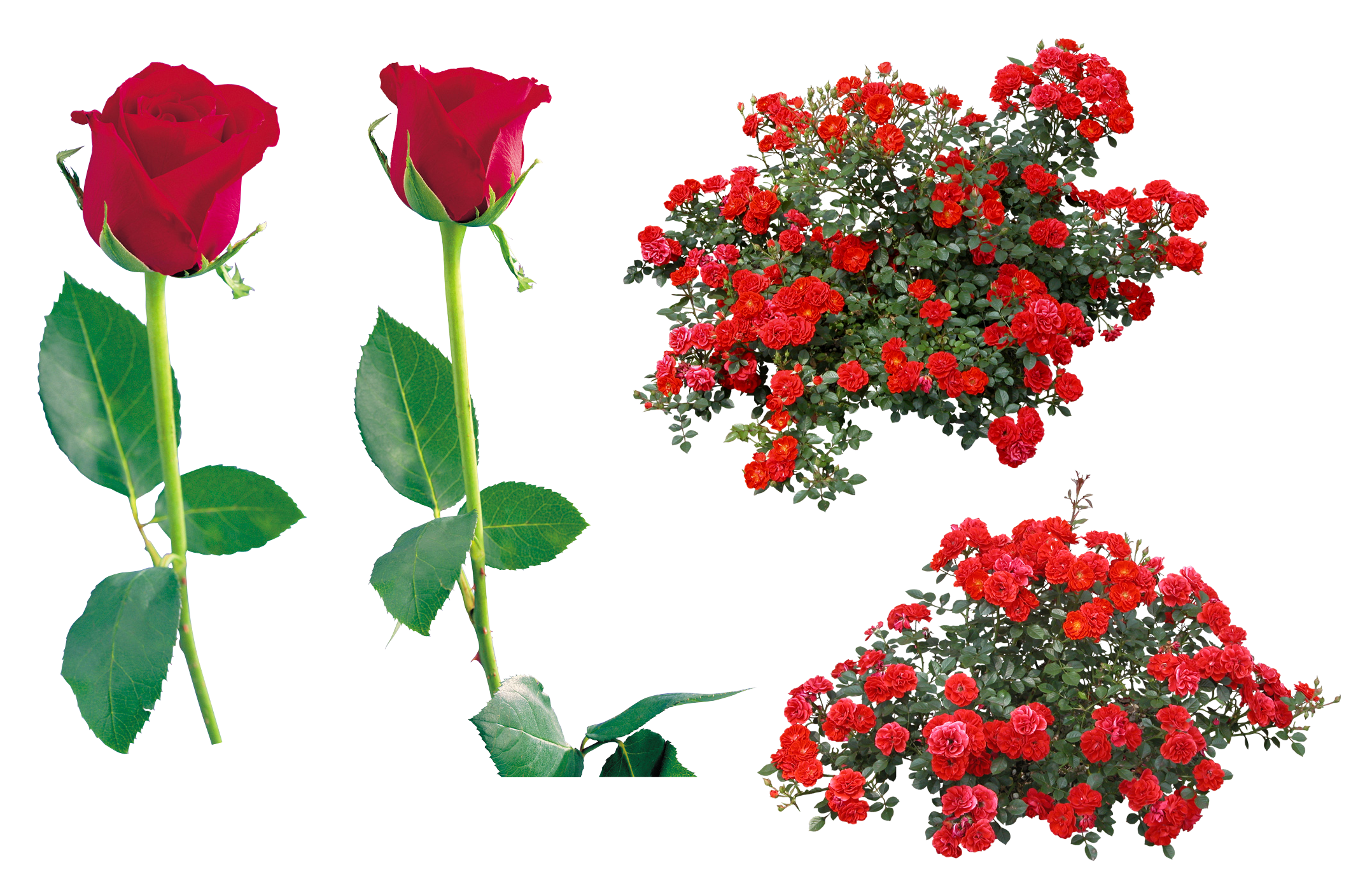 Png pictures free download. Rose flower images image