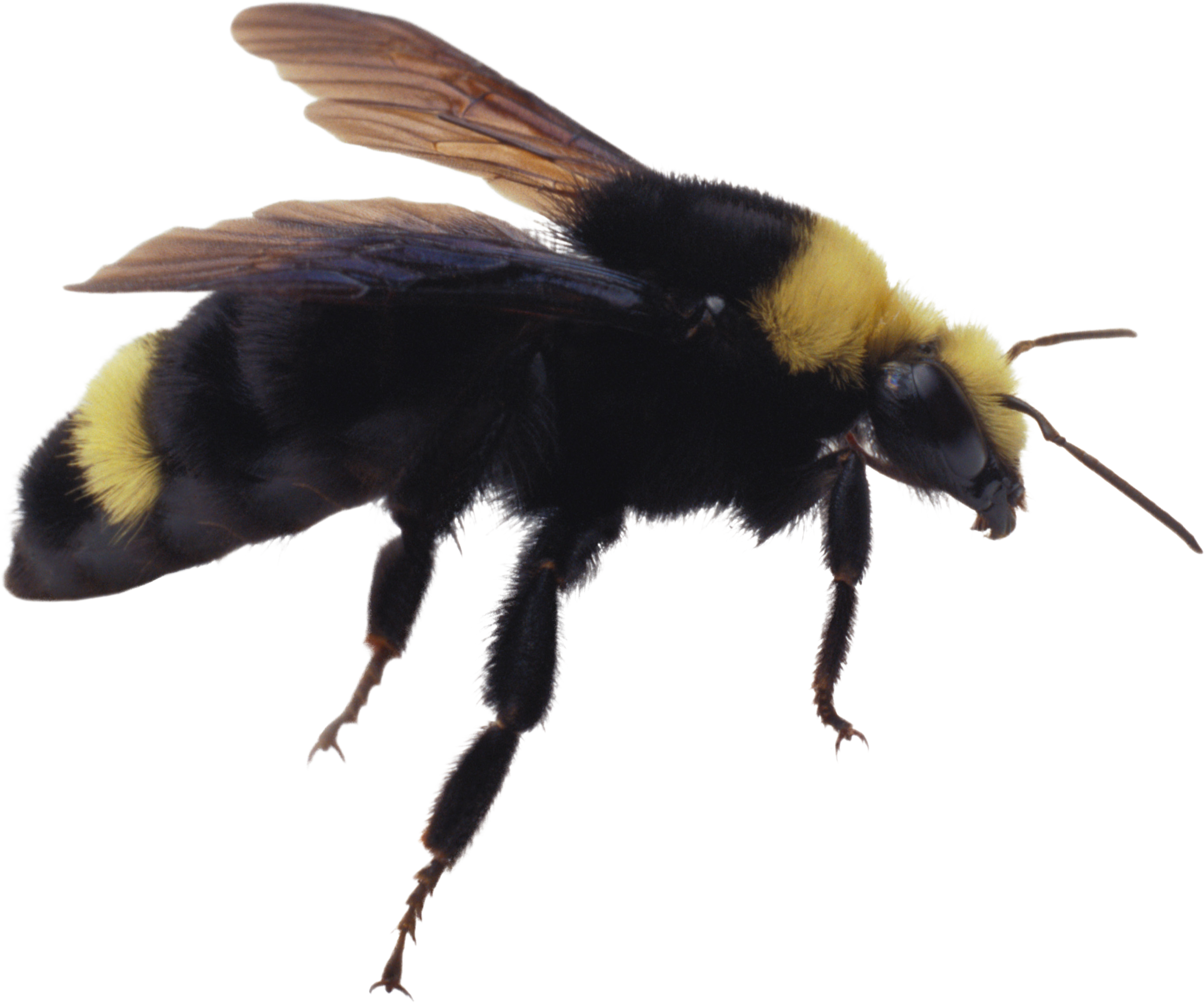 Bee png image free. Bees transparent clip art freeuse library