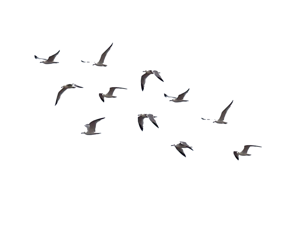 Png birds. Stock by brizzolatto on
