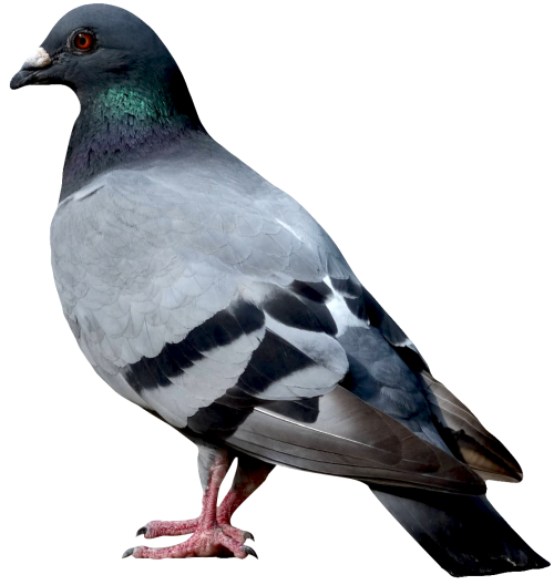 Image pngpix download. Dove png picture freeuse stock