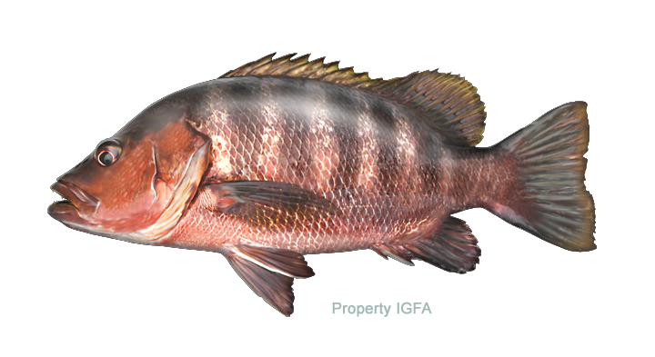 Large mouth bass png. Snapper papuan black