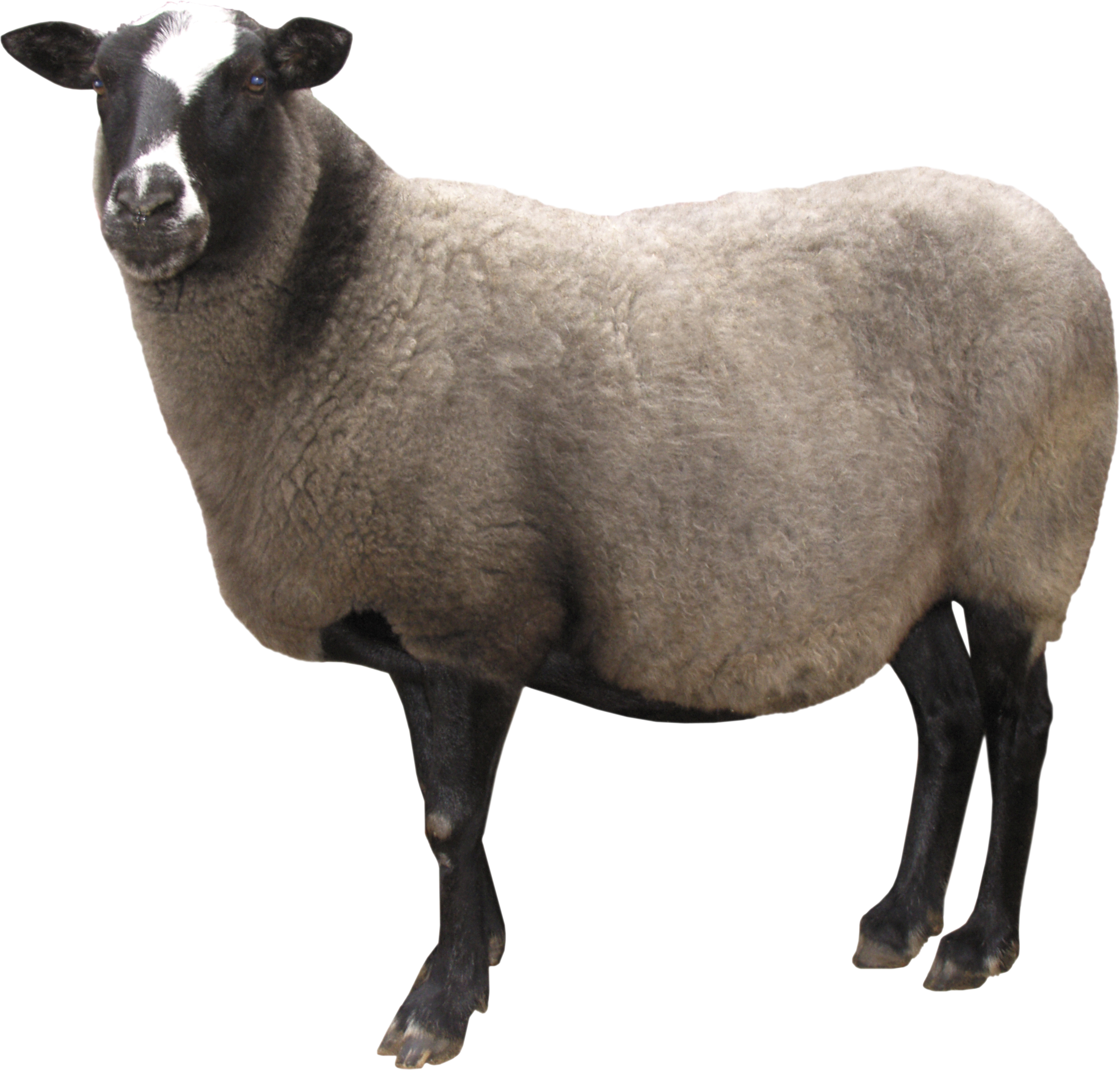 sheep .png