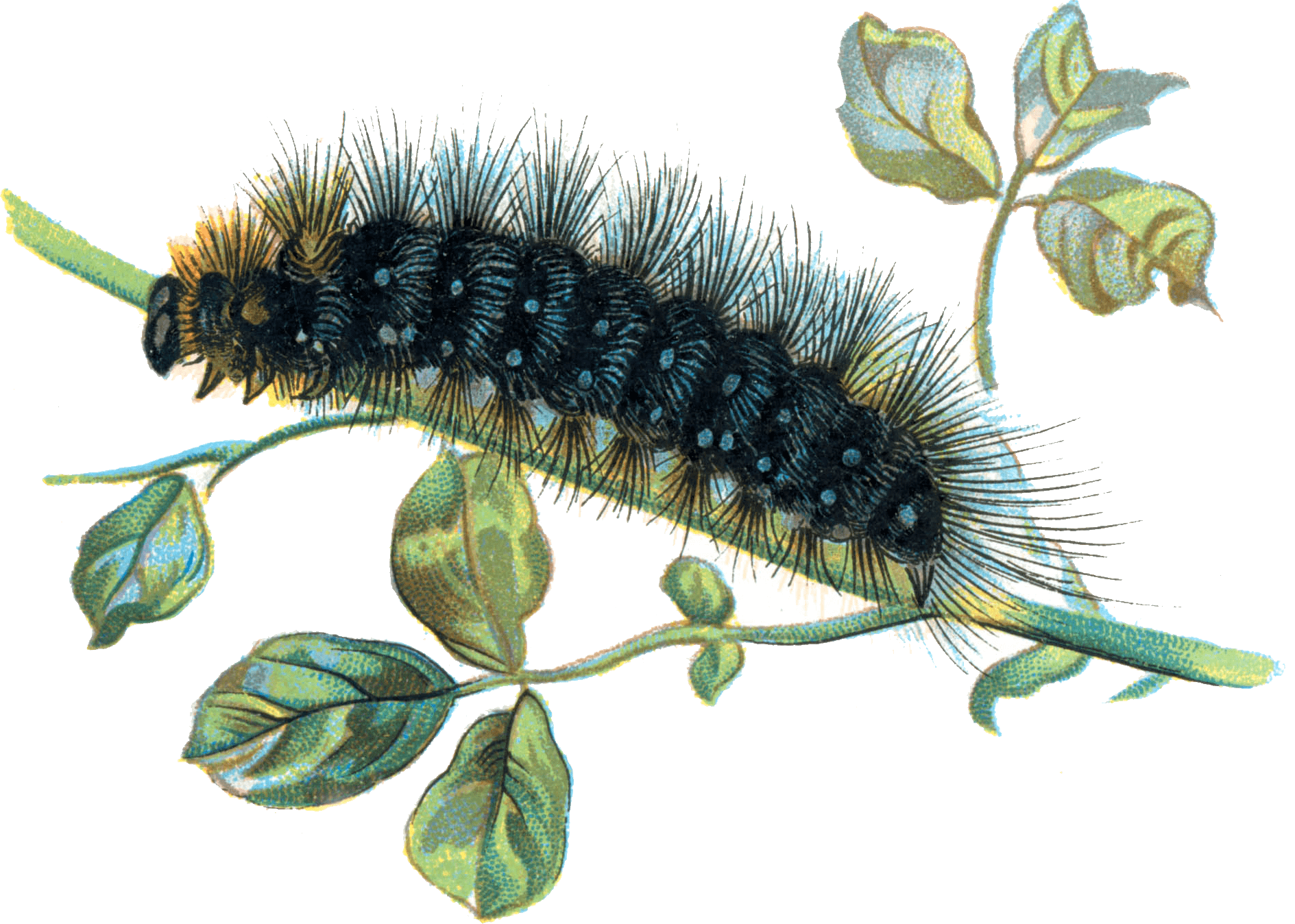 Png black wite moth caterpillar. On branch transparent stickpng